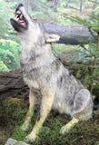 Πραγματικός γεμισμένος λύκος στοκ φωτογραφίες