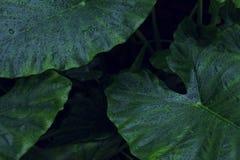 Πραγματικό τροπικό υπόβαθρο φύλλων, φύλλωμα ζουγκλών Στοκ Φωτογραφία