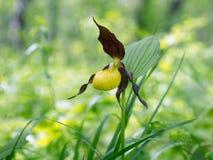 Πραγματικό calceolus Cypripedium παντοφλών της κίτρινης κυρίας ορχιδεών Specieswild σε ένα δασικό λιβάδι στοκ εικόνες με δικαίωμα ελεύθερης χρήσης