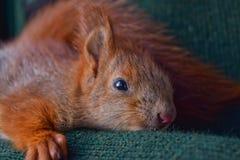 Πρακτικός σκίουρος μωρών στοκ εικόνες