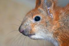 Πρακτικός σκίουρος μωρών στοκ εικόνα