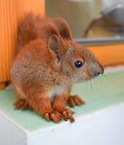 Πρακτικός σκίουρος μωρών στοκ εικόνες με δικαίωμα ελεύθερης χρήσης