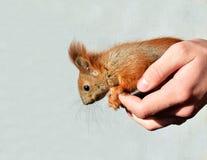 Πρακτικός σκίουρος μωρών στοκ φωτογραφία