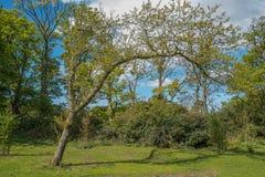Πρασινάδα πάρκων και Lucious Scotlands και ένα περίεργο διαμορφωμένο δέντρο στοκ εικόνα με δικαίωμα ελεύθερης χρήσης