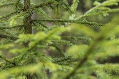 Πρασινάδα, πράσινη κινηματογράφηση σε πρώτο πλάνο δέντρων πεύκων Στοκ φωτογραφίες με δικαίωμα ελεύθερης χρήσης