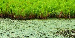Πρασινάδα υγρότοπου Στοκ Εικόνες