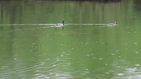 Πρασινολαίμες παπιών που το νερό απόθεμα βίντεο