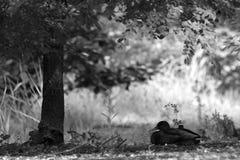 Πρασινολαίμες που βρίσκονται στη φωτογραφία χλόης στοκ εικόνα με δικαίωμα ελεύθερης χρήσης