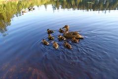 πρασινολαίμης παπιών Στοκ Φωτογραφία