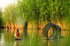 Πρασινολαίμης στη λίμνη στοκ εικόνες