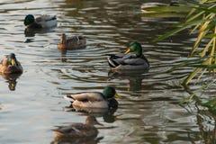 πρασινολαίμης Στοκ φωτογραφίες με δικαίωμα ελεύθερης χρήσης