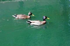 Πρασινολαίμες που κολυμπούν σε μια υδάτινη οδό του Λονδίνου Στοκ φωτογραφίες με δικαίωμα ελεύθερης χρήσης