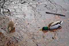πρασινολαίμες Στοκ φωτογραφία με δικαίωμα ελεύθερης χρήσης