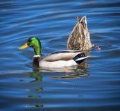 Πρασινολαίμης και ανάποδος φίλος Στοκ Εικόνες