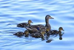 Πρασινολαίμης μητέρων με τους νεοσσούς Στοκ εικόνα με δικαίωμα ελεύθερης χρήσης