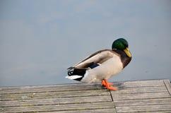 Πρασινολαίμης στη λίμνη Στοκ εικόνα με δικαίωμα ελεύθερης χρήσης