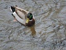 πρασινολαίμης Στοκ φωτογραφία με δικαίωμα ελεύθερης χρήσης