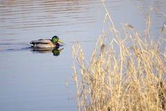 πρασινολαίμης Στοκ Φωτογραφίες