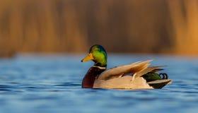 Πρασινολαίμης - Anas platyrhynchos - αρσενικό Στοκ Φωτογραφίες