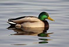 Πρασινολαίμης - Anas platyrhynchos Στοκ εικόνες με δικαίωμα ελεύθερης χρήσης