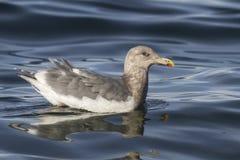 Πρασινωπός-φτερωτός γλάρος που επιπλέει στα κύματα Στοκ Φωτογραφίες