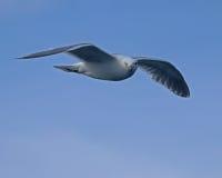 Πρασινωπός-φτερωτός γλάρος στη νοτιοανατολική Αλάσκα Στοκ Φωτογραφίες