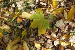 Πρασινωπό κίτρινο πεσμένο φύλλο του σφενδάμνου στο έδαφος Στοκ Εικόνα