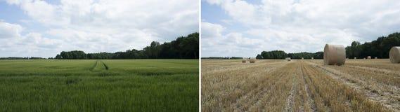 Πριν και μετά από την άποψη - πράσινος τομέας σίτου με τον μπλε νεφελώδη ουρανό Στοκ Φωτογραφία
