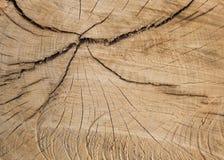 Πριονισμένη διατομή ετήσιων δαχτυλιδιών ενός δέντρου Στοκ εικόνες με δικαίωμα ελεύθερης χρήσης