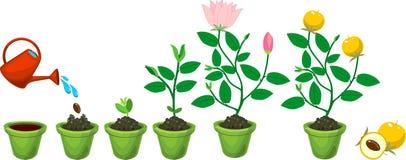 Προέλευση φυτού από το σπόρο στο άνθισμα και το fruit-bearing φυτό ελεύθερη απεικόνιση δικαιώματος