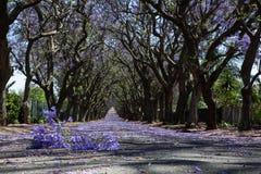 Προαστιακός δρόμος με τη γραμμή δέντρων jacaranda και μικρός κλάδος με στοκ φωτογραφίες