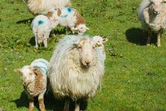 Προβατίνα και αρνί στοκ εικόνα