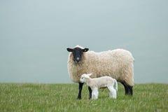 Προβατίνα και αρνί στοκ φωτογραφία με δικαίωμα ελεύθερης χρήσης