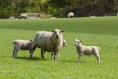 Προβατίνα και αρνιά στοκ φωτογραφίες