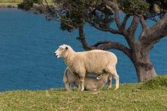 Προβατίνα με το αρνί θηλαζόντων νεογνών στοκ εικόνες με δικαίωμα ελεύθερης χρήσης