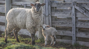 Προβατίνα με το αρνί μωρών Στοκ εικόνες με δικαίωμα ελεύθερης χρήσης