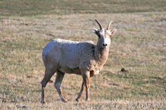 Προβατίνα προβάτων Bighorn στο κρατικό πάρκο Custer στους μαύρους λόφους της νότιας Ντακότας στοκ εικόνες