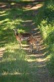 Προβατίνα Moufflon και στάση αρνιών σε ένα δάσος Στοκ Εικόνες