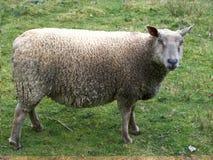 Προβατίνες που βόσκουν το καλοκαίρι στοκ εικόνες με δικαίωμα ελεύθερης χρήσης