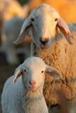 προβατίνες Στοκ εικόνα με δικαίωμα ελεύθερης χρήσης