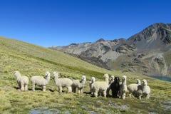 Προβατοκάμηλοι στο πράσινο λιβάδι στις Άνδεις στοκ φωτογραφία με δικαίωμα ελεύθερης χρήσης