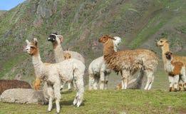 Προβατοκάμηλοι στο πράσινο λιβάδι στις Άνδεις στοκ εικόνα