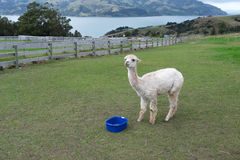 Προβατοκάμηλος, Νέα Ζηλανδία Στοκ εικόνα με δικαίωμα ελεύθερης χρήσης