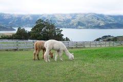 Προβατοκάμηλος, Νέα Ζηλανδία Στοκ εικόνες με δικαίωμα ελεύθερης χρήσης