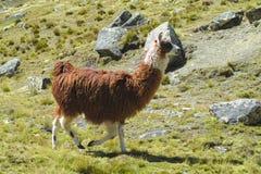 Προβατοκάμηλος στο altiplano Στοκ Εικόνες