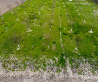 Προγραμματισμένος οπωρώνας κερασιών Νέα δέντρα του γλυκού κερασιού Χορτοτάπητας στον κήπο του γλυκού κερασιού Στοκ Φωτογραφίες