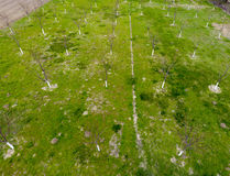 Προγραμματισμένος οπωρώνας κερασιών Νέα δέντρα του γλυκού κερασιού Χορτοτάπητας στον κήπο του γλυκού κερασιού Στοκ φωτογραφία με δικαίωμα ελεύθερης χρήσης