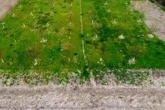 Προγραμματισμένος οπωρώνας κερασιών Νέα δέντρα του γλυκού κερασιού Χορτοτάπητας στον κήπο του γλυκού στοκ φωτογραφία με δικαίωμα ελεύθερης χρήσης