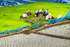 Προετοιμασία του δέντρου ρυζιού για τη φύτευση στοκ εικόνες με δικαίωμα ελεύθερης χρήσης