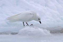 Προκελλαρία χιονιού που στέκεται στην άκρη της ρωγμής Στοκ φωτογραφία με δικαίωμα ελεύθερης χρήσης